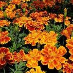 Tagetes erecta 花