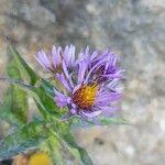 Aster alpinus Flower