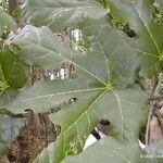 Acropogon grandiflorus