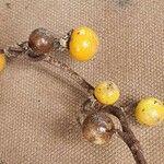 Solanum coagulans