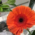 Calendula officinalis Virág