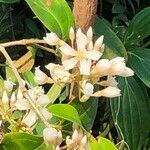 Medinilla crassifolia
