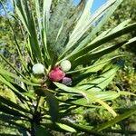 Podocarpus polyspermus