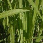 Carex hirtifolia