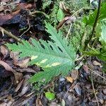Ficus densifolia