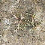 Juncus pygmaeus