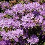 Rhododendron pemakoense