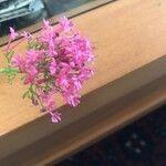 Centranthus ruber Blomst