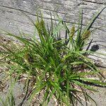 Carex macrocephala