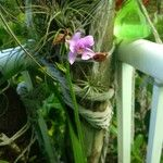 Spathoglottis plicata Flower
