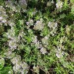 Satureja thymbra 花