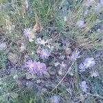 Astragalus crassicarpus