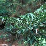 Solanum leucocarpon