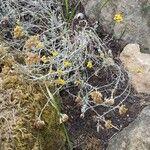 Helichrysum ambiguum