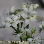 Galium saxosum