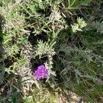 Gutenbergia cordifolia Feuille