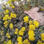 Alyssum corsicum