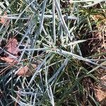 Dianthus anatolicus