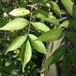 Sambucus nigra Leaf