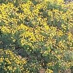 Peltophorum pterocarpum 花