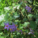 Solanum trilobatum