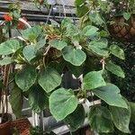 Begonia ampla