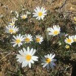 Leucanthemum burnatii