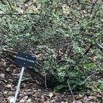 Cotoneaster splendens