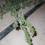 Satureja cuneifolia