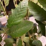 Alnus glutinosa Leht