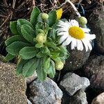 Nipponanthemum nipponicum