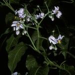 Solanum gayanum