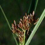 Cyperus badius
