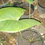 Zantedeschia aethiopica Feuille