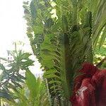 Euphorbia trigona Leaf