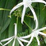 Crinum americanum Flor