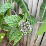 Pluchea carolinensis Flower