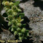 Herniaria latifolia
