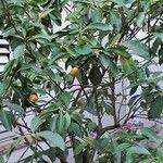 Fortunella japonica Hábito