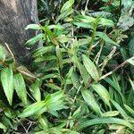 Epidendrum spp. Tapa