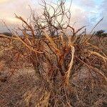Acacia mellifera Kéreg
