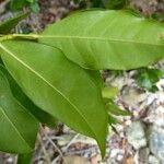 Euodia tietaensis