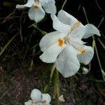 Dietes iridioides Fleur