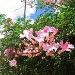 Podranea ricasoliana Fleur