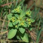 Euphorbia pterococca