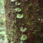 Hymenophyllum sibthorpioides