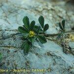 Medicago secundiflora
