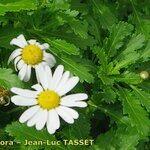 Argyranthemum pinnatifidum