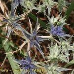 Eryngium galioides