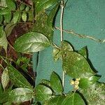 Dendropanax querceti